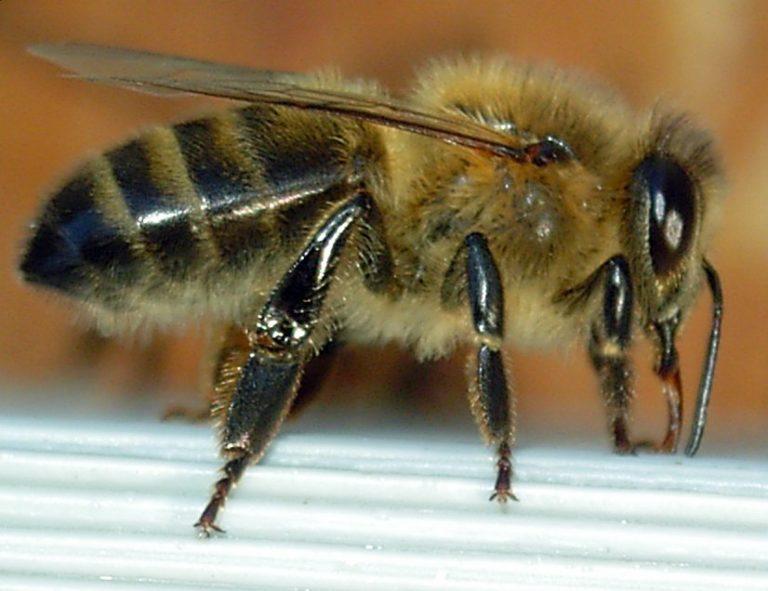 les abeilles et les ruches, la vie dans la ruche